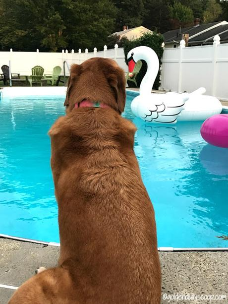 golden lab sitting by pool