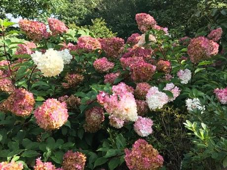 Hydrangeas – Beyond the Mop Head