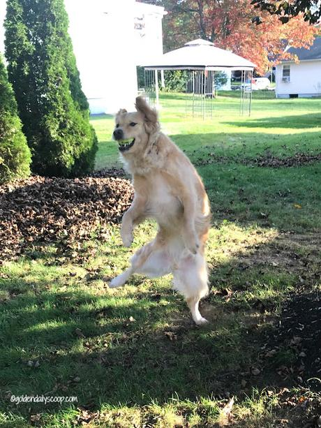 golden retriever dog fetching ball in leaves