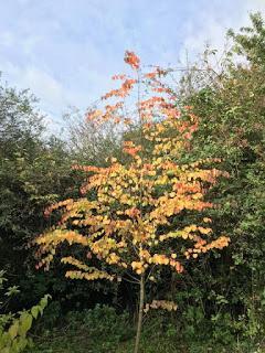 A Cercidiphyllum Autumn