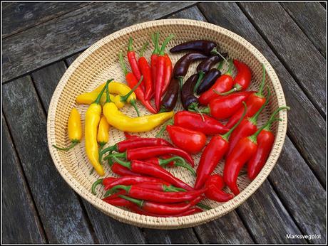 The Chilli harvest