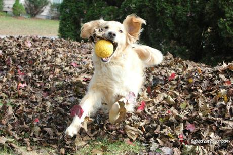 golden retriever dog jumping in pile of leaves