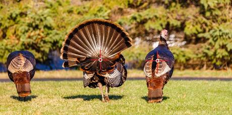 Turkey Facing Away