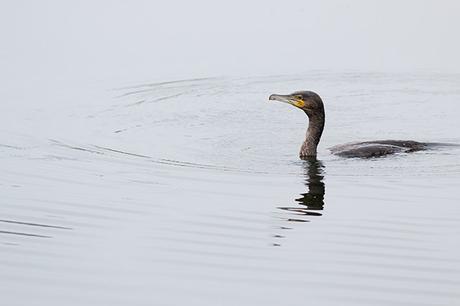 Cormorant Swimming