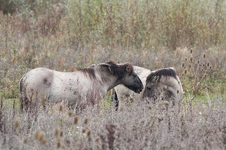Touching moment between Konik Ponies
