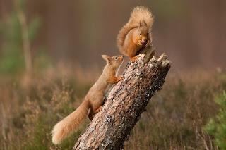 Red squirrel reintroduction success with breeding and natural expansion