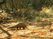 Ground Pangolin Spotted Cameras First Time Years