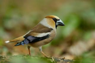 [Press release] Wildlife lovers get an early Christmas treat as super finches flock to the UK