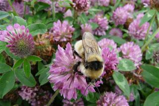 [Press release] Voting urged to help save Scotland's Great yellow bumblebee
