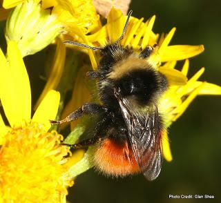 [Press release] Funding success offers hope for one of Britain's rarest bumblebees.