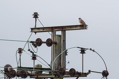 Kestrel Amongst the Wires