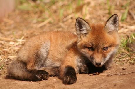 One cute baby fox