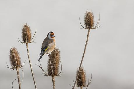 Goldfinch Feeding on Teasel Heads