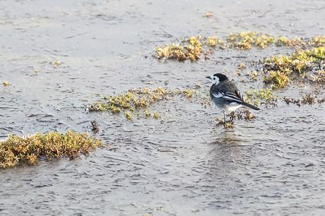 Male Pied Wagtail walking on ice