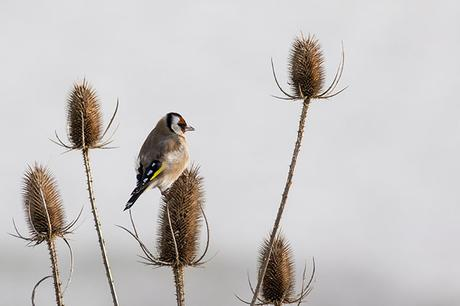 Profile of Goldfinch
