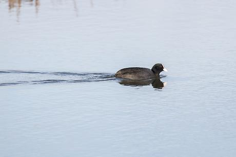 Coot leaving a nice wake as it swam