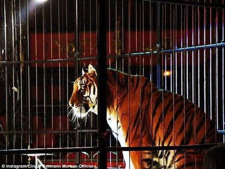 circus Tiger shot dead on escape ~ cruelty of game hunting