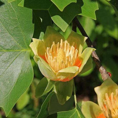 Priory Trees: The Tulip Tree