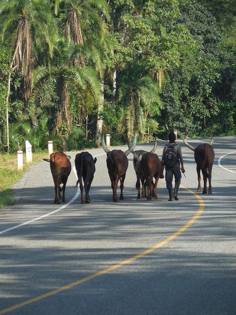 new road through Kibale Forest. walking cows