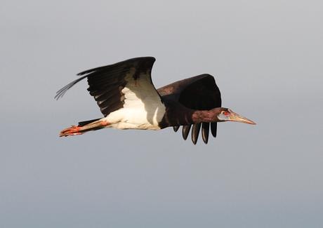 Abdim's Stork in flight, Tanzania. PHOTO Jonathan Rossouw