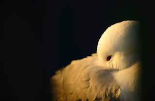 Kittiwake joins the red list of UK birds facing risk of global extinction