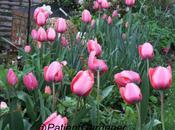 Adore Tulips
