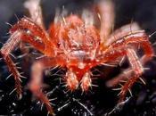 Tetranychus Urticae