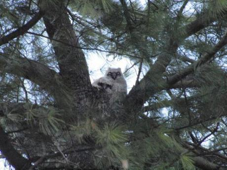 Blown-Away Baby Owl Boosted Back to its Nest