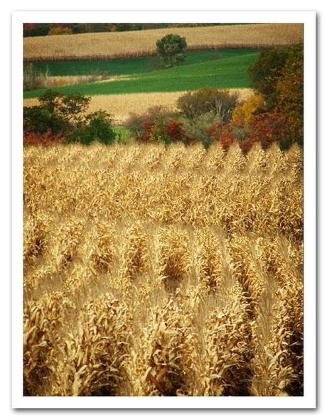 Harvest Time - Cornfield in Autumn ready for harvest