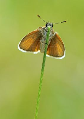 Thymelicus sylvestris, Bande noire, Small Skipper
