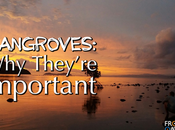 Mangroves- They're Important