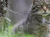 Crucial Work Help Save Scottish Wildcats