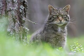 Crucial work to help save Scottish wildcats