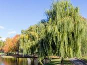 Meet Trees: Weeping Willow