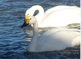 Missing mate of oldest living Gloucestershire swan dynasty arrives from Russian Arctic – six weeks late!