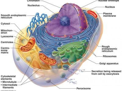 The powerhouses of the cell and human diseases