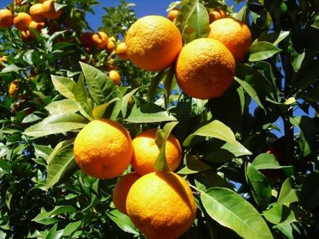It's Seville orange time