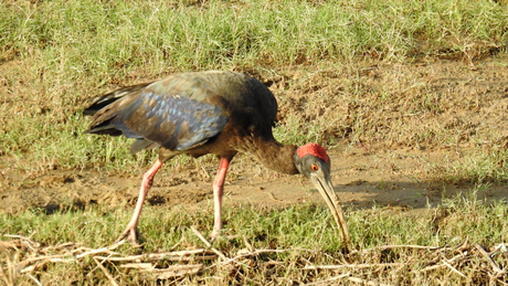 Red headed Ibis at Chambal river sanctuary