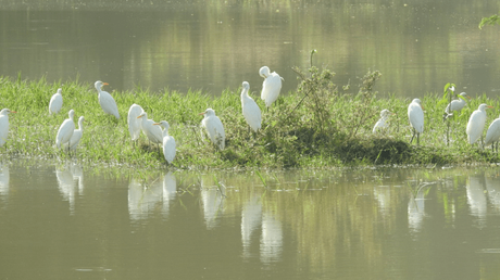 Egrets at the Chambal river sanctuary