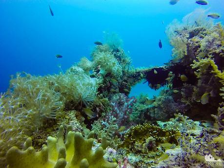 Lots of small damselfish as well as Briareidae and Nephtheidae soft corals