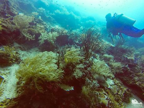 Ellisella sea whips and Nephtheidae corals