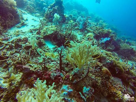 Yellow nephtheidae and black nidaliidae corals