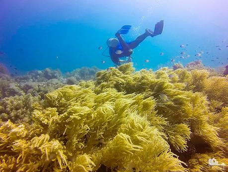 Successful soft coral farm and restoration project