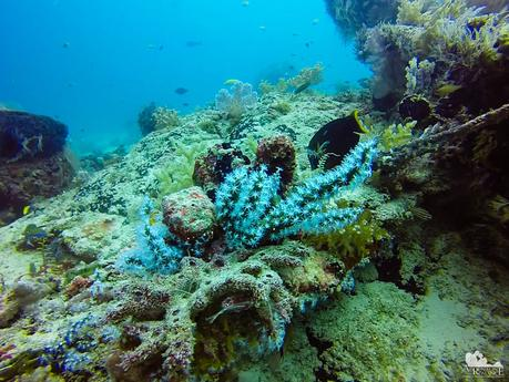 Healthy coral with light blue polyps