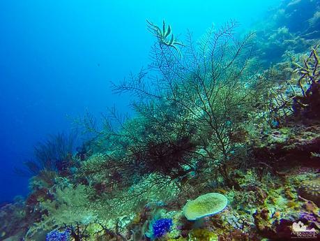 Very dainty sea fan