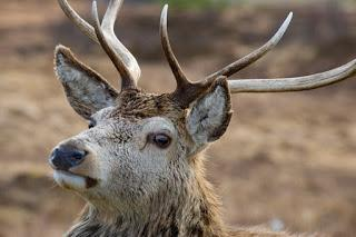 New lowland deer expert panel appointed