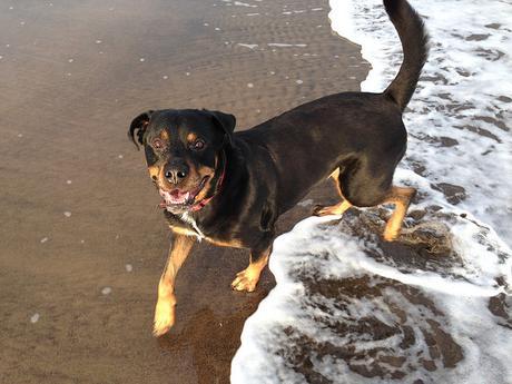 Rottweiler on Beach