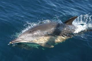 Record numbers of common dolphin sightings off Scotland's west coast