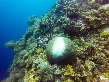 This brain coral must have been the victim of a crown-of-thorns attack