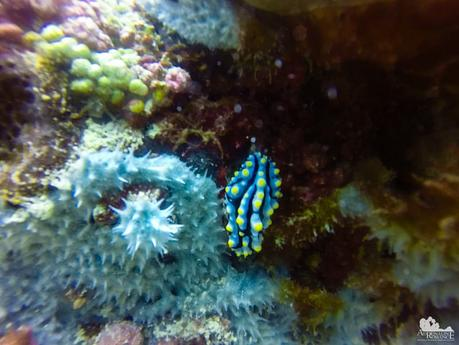 That's a large nudibranch!